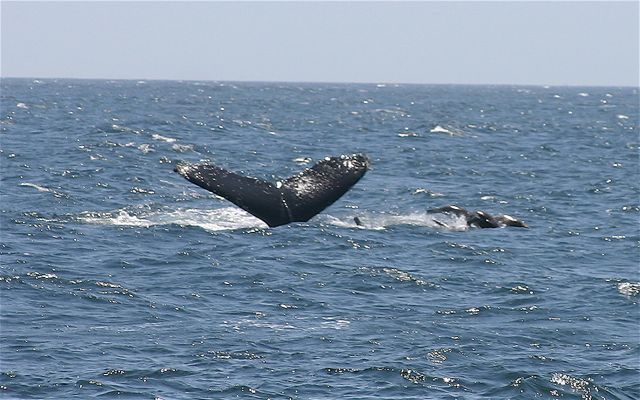 All-day economy sail charter frequently encounter amazing wildlife like this humpback whale and her calf