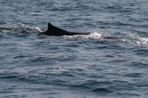 Stubby Fin Whale - 51